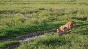 La leona africana con una cara sangrienta dobla para beber el agua de charcos en el salvaje almacen de metraje de vídeo