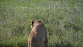 La leona africana mira alrededor y se acuesta en la hierba de la sabana para descansar almacen de video