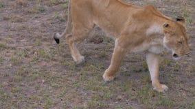 La leona cansada un plan más grande va, cámara lenta almacen de metraje de vídeo