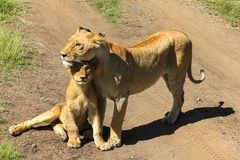 La leona con su cachorro foto de archivo