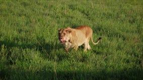 La leona con una cara sangrienta camina en un llano del prado en sabana africana metrajes