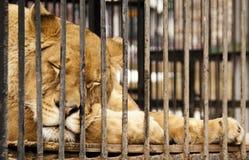 La leona el dormir detrás de barras en un parque zoológico Imagenes de archivo