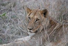 La leona en Hoedspruit, Suráfrica imágenes de archivo libres de regalías