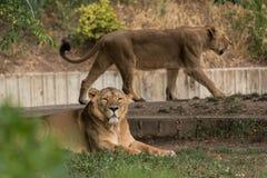 La leona foto de archivo