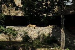 La leona miente en el sol fotografía de archivo