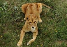 La leona miente en una hierba Fotos de archivo libres de regalías