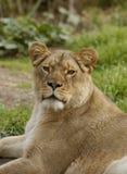 La leona mira el espectador Foto de archivo libre de regalías