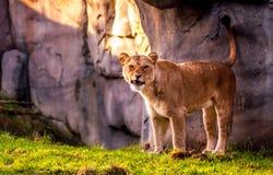 La leona mira fijamente y descubre sus dientes Fotos de archivo libres de regalías