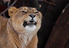 La leona potente gruñe los dientes de la mueca, jefe de un cierre despredador para arriba foto de archivo