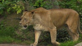 La leona que busca y que camina lentamente a través de arbustos y de rocas almacen de metraje de vídeo