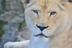 La leona que mira fijamente la presa Fotografía de archivo