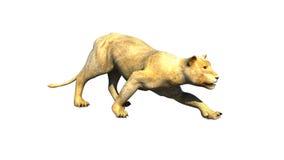 La leona que se escabulle y alista para atacar Fotos de archivo libres de regalías