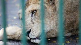 La leona salvaje macra descansa dentro de la jaula detrás del enrejado verde almacen de metraje de vídeo