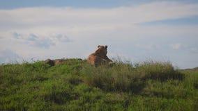 La leona salvaje miente en una colina y mira hacia fuera para la presa y la sabana africana almacen de metraje de vídeo