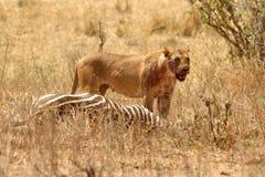 La leona sangrienta se coloca sobre matanza de la cebra Foto de archivo libre de regalías
