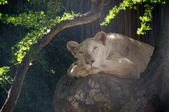 La leona se acuesta Imagen de archivo