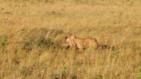 La leona se escabulle en la hierba alta a los ñus almacen de video