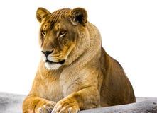 La leonessa Fotografie Stock Libere da Diritti