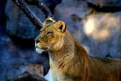 La leonessa sembra attenta Fotografie Stock