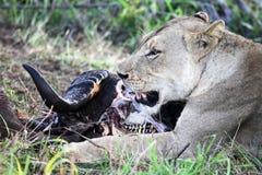 La leonessa si trova vicino alla testa della Buffalo morta Predatore e preda Immagini Stock Libere da Diritti