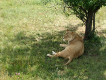 La leonessa sta riposando Fotografia Stock