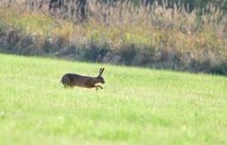 La lepre di Brown sta correndo nell'erba Fotografia Stock