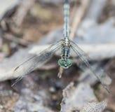 La libélula Foto de archivo