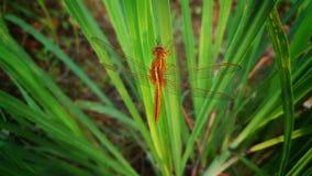 La libélula anaranjada está descansando sobre la hoja Imagen de archivo