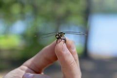 La libélula aterrizó derecho en las manos de un hombre Foto de archivo
