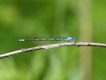 Libélula azul en una hierba Fotografía de archivo libre de regalías