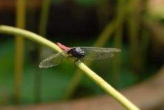 La libélula cae en el tronco del loto Foto de archivo
