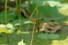 La libélula cae en el tronco del loto Fotos de archivo libres de regalías