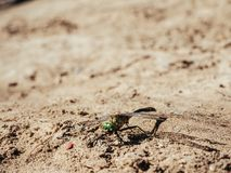 La libélula con los ojos verdes y las alas transparentes está en la arena imagen de archivo