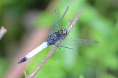La libélula en Kangra Himachal Pradesh Fotografía de archivo libre de regalías