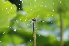 La libélula en la lluvia Imágenes de archivo libres de regalías