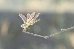 Libélula en una ramita fina Foto de archivo libre de regalías