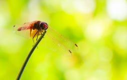 La libélula roja Foto de archivo