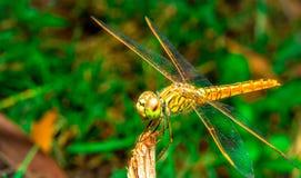 La libélula se sienta en una hierba en un prado Fotos de archivo
