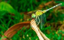 La libélula se sienta en una hierba en un prado Imagen de archivo