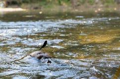 La libélula se sienta en una piedra en corriente del agua Fotografía de archivo