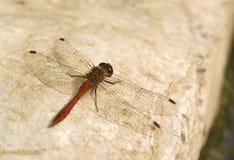 La libélula se va volando el fondo Imagen de archivo libre de regalías