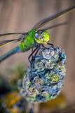 La libélula sobre cáñamo florece - concepto médico de la marijuana Imágenes de archivo libres de regalías