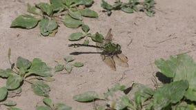 La libélula verde se sienta en tierra seca metrajes