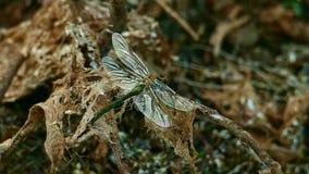 La lib?lula agita sus alas que se sientan en una vieja rama seca metrajes