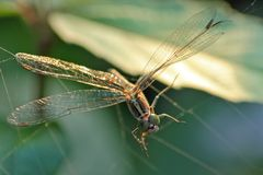 La libellula è bloccata dalla ragnatela Fotografie Stock