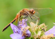 La libellula è una vita dell'insetto vicino ai corpi dell'acqua fotografia stock libera da diritti