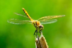 La libellula è una vita dell'insetto vicino ai corpi dell'acqua immagine stock