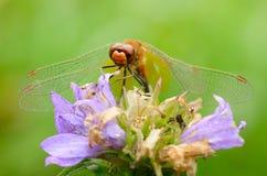 La libellula è una vita dell'insetto vicino ai corpi dell'acqua immagini stock