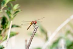 La libellula bella e divertente Immagini Stock Libere da Diritti