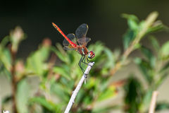 La libellula bella e divertente Fotografia Stock